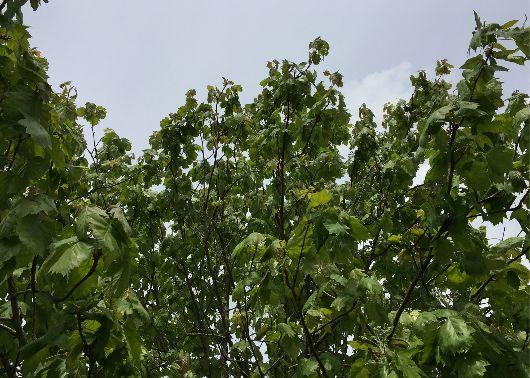 tree trimming st louis